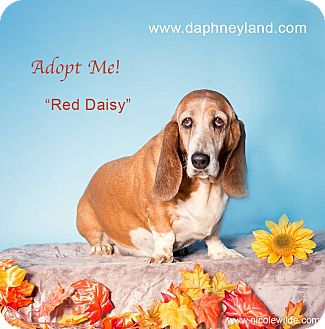 Basset Hound Dog for adoption in Acton, California - Red Daisy