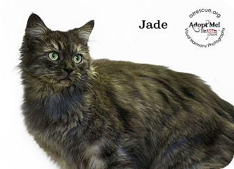 Maine Coon Cat for adoption in Phoenix, Arizona - Jade
