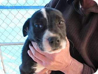 Boxer Mix Puppy for adoption in Danbury, Connecticut - Toby