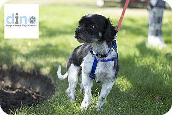 Shih Tzu Mix Dog for adoption in Calgary, Alberta - SPIKE