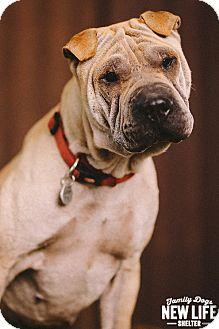 Shar Pei Dog for adoption in Portland, Oregon - Penelope