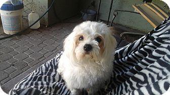 Maltese Mix Dog for adoption in Phoenix, Arizona - Celine