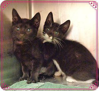 Domestic Shorthair Kitten for adoption in Marietta, Georgia - ROSS & RACHEL
