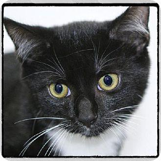 Domestic Shorthair Kitten for adoption in Salem, Massachusetts - Ray