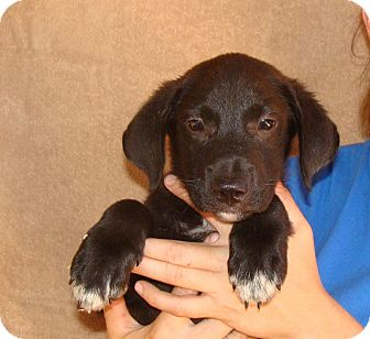 Golden Retriever/Labrador Retriever Mix Puppy for adoption in Oviedo, Florida - Wonton