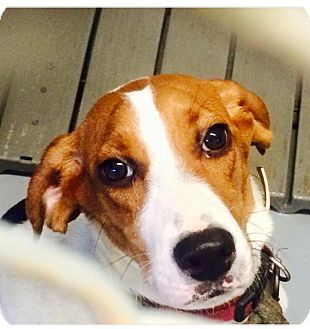 Foxhound/Pointer Mix Puppy for adoption in Virginia Beach, Virginia - Duchess