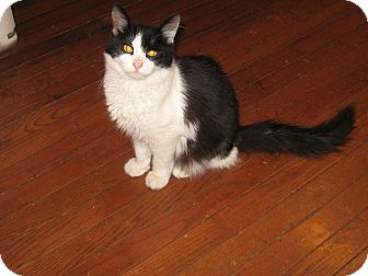 Domestic Mediumhair Cat for adoption in Lewis Center, Ohio - Snickers