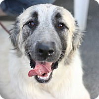 Adopt A Pet :: Kayla-Armenian Gampr - Canoga Park, CA