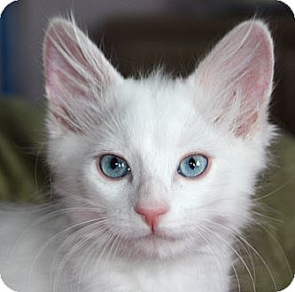 Domestic Longhair Kitten for adoption in Huntley, Illinois - Adam