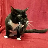 Domestic Shorthair/Domestic Shorthair Mix Cat for adoption in Anderson, Indiana - Acura