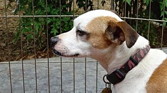 Jack Russell Terrier Dog for adoption in Columbia, Tennessee - Smiley MH