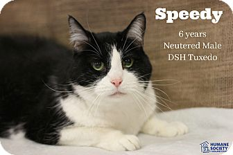 Domestic Shorthair Cat for adoption in Midland, Michigan - Speedy