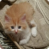 Domestic Longhair Kitten for adoption in Chicago, Illinois - Shelly
