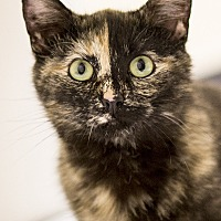 Adopt A Pet :: Gemini - Chicago, IL