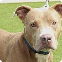Adopt A Pet :: Diesel - Grass Valley, CA