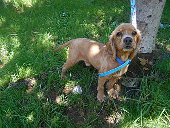 Cocker Spaniel Mix Dog for adoption in Kannapolis, North Carolina - Ferguson & Riley