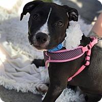 Adopt A Pet :: Audrey - Cherry Hill, NJ