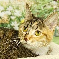 Adopt A Pet :: Kitty Kat - South Bend, IN