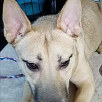 Adopt A Pet :: Coralee - Las Vegas, NV