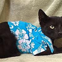 Adopt A Pet :: Mysterio - Kailua-Kona, HI