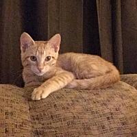 Adopt A Pet :: Klinger - Glendale, AZ