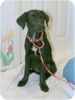 Hound (Unknown Type)/Labrador Retriever Mix Puppy for adoption in Wayne, New Jersey - Bama Lou
