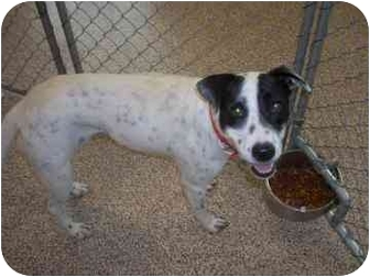Dalmatian/Terrier (Unknown Type, Medium) Mix Dog for adoption in North Charleston, South Carolina - Zole