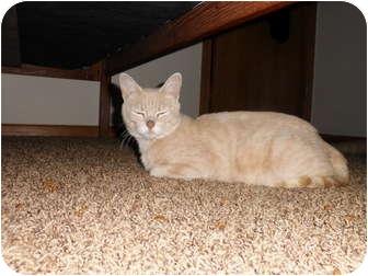 Domestic Shorthair Cat for adoption in Rosemount, Minnesota - Ripple