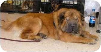 Shar Pei Dog for adoption in Genoa, Ohio - Yogi (Adoption Pending)