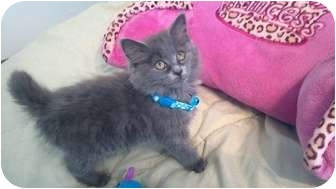 Persian Kitten for adoption in Simpsonville, South Carolina - Amy