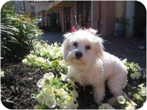 Maltese/Shih Tzu Mix Dog for adoption in New Milford, Connecticut - Lolee