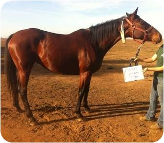 Thoroughbred Mix for adoption in Sac, California - Shimmer