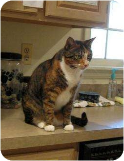 Domestic Shorthair Cat for adoption in Columbia, Maryland - GiGi