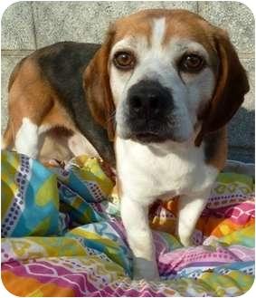 Beagle Dog for adoption in Carmel, New York - Kirby