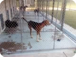 Treeing Walker Coonhound Mix Dog for adoption in Dundas, Virginia - Kennel #12, Animal Control