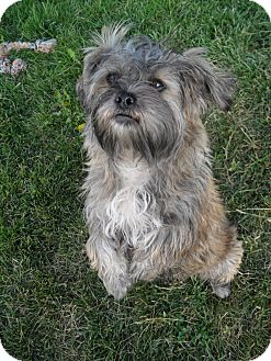 Lhasa Apso Mix Dog for adoption in Jerome, Idaho - Shaggy #5190