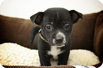 Chihuahua Mix Puppy for adoption in Broomfield, Colorado - Jalapeno