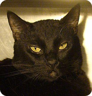 Domestic Shorthair Cat for adoption in El Cajon, California - Dusty