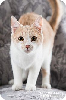 Domestic Shorthair Cat for adoption in Eagan, Minnesota - Wilbur