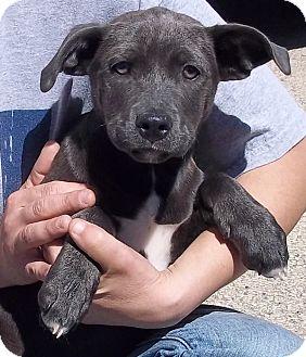 Labrador Retriever/Terrier (Unknown Type, Medium) Mix Puppy for adoption in Belvidere, Illinois - Dore