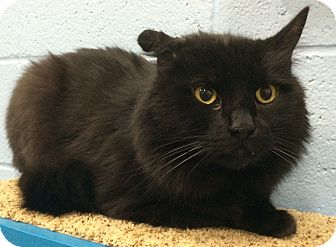 Domestic Longhair Cat for adoption in Fruit Heights, Utah - Bastian