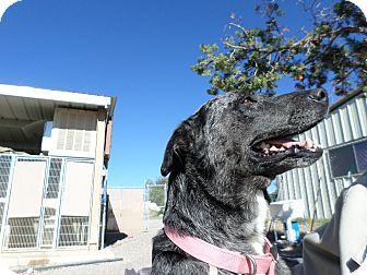 Cattle Dog Mix Dog for adoption in Edgewood, New Mexico - Shelby
