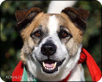 Welsh Corgi/Jack Russell Terrier Mix Dog for adoption in Vista, California - Ronald