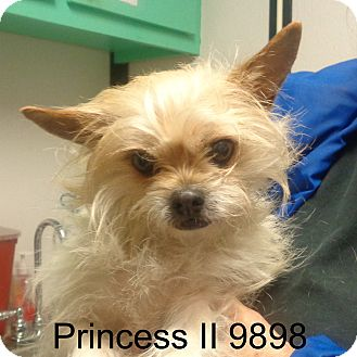 Shih Tzu/Westie, West Highland White Terrier Mix Dog for adoption in Greencastle, North Carolina - Princess II
