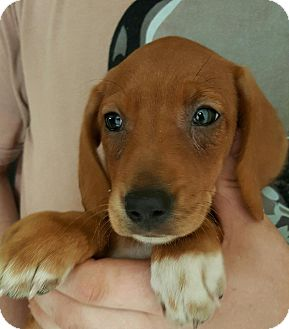 Beagle Mix Puppy for adoption in Pompton Lakes, New Jersey - TANGIE PUPPIES