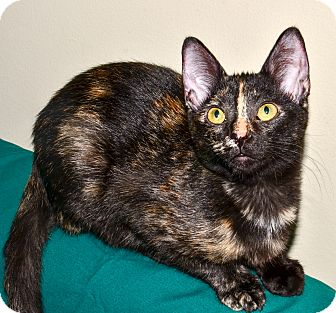Domestic Shorthair Kitten for adoption in Lombard, Illinois - Choco