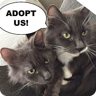 Domestic Mediumhair Cat for adoption in Los Angeles, California - Wolfie
