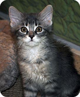 Domestic Mediumhair Kitten for adoption in Madison, Wisconsin - Gillian