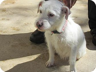 Terrier (Unknown Type, Small) Mix Dog for adoption in Rocky Mount, North Carolina - Kyleigh