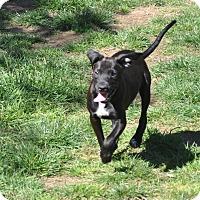Adopt A Pet :: Boo, Bailey, Bella and Benny - Tumwater, WA